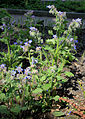 Borago officinalis Prague 2014 1.jpg