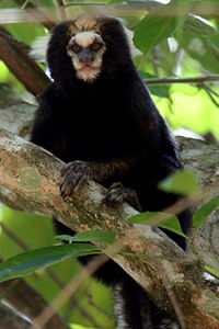 Buffy tufeted marmoset.jpg